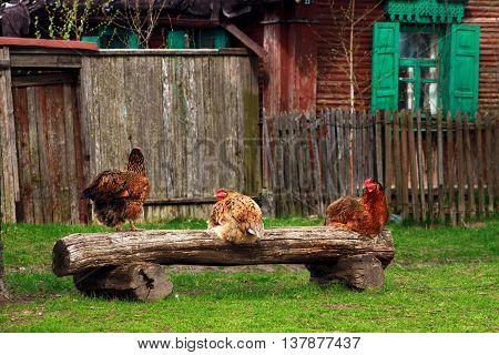 Three chicken sitting on a bench in the village