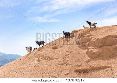 Group of mountain goats standing on sandy hillside