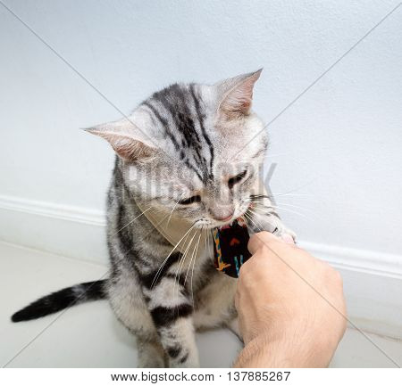 American Shorthair Cat With Necktie And Shake Hands With Human With Copy Space