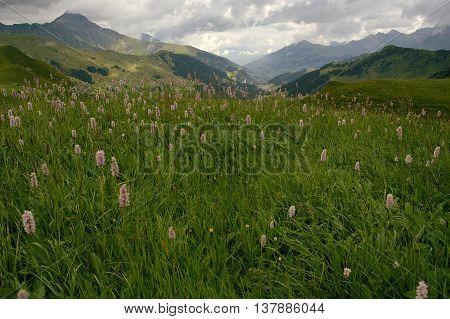 Common Bistort - Persicaria bistorta In Alpine meadows