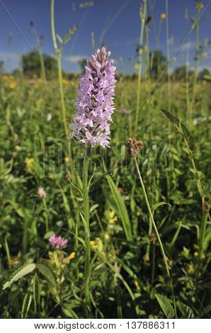 Common Spotted Orchid - Dactylorhiza fushsii In Wildflower Meadow