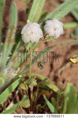 Woolly Clover - Trifolium tomentosum Small Mediterranean Flower