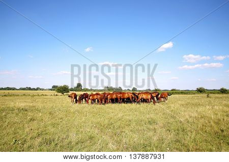 herd of mares and foals graze on meadow. Panoramic view of  thoroughbred horses on pasture