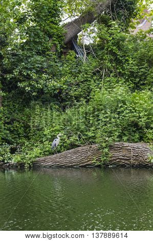 A wild grey heron standing on a tree above the river.