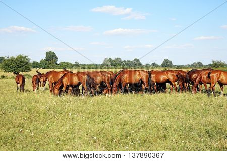 Young chestnut foals and mares eating gras on meadow summertime outdoor rural scene
