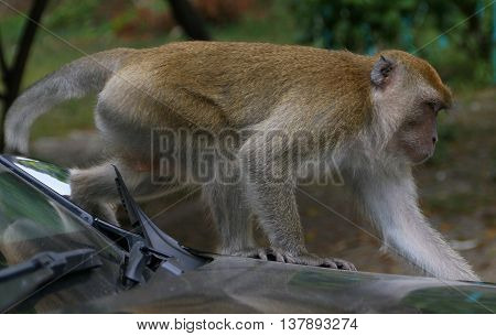 female Long-tailed Macaque crossing hood of a car near Tang Kuan Hill, Thailand