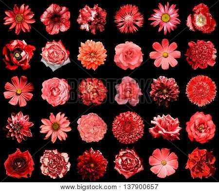 Mix Collage Of Natural And Surreal Red Flowers 30 In 1: Peony, Dahlia, Primula, Aster, Daisy, Rose,