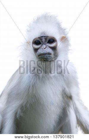 Picture of an endangered monkey with white fur looking at the camera isolated on white background