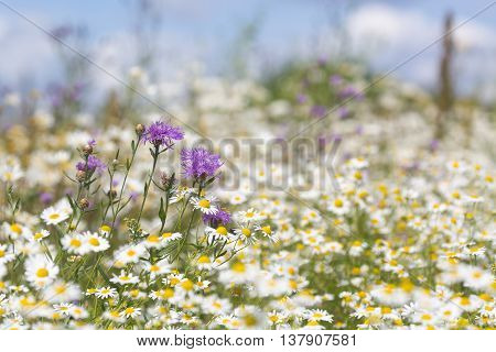 Beautiful wildflowers meadow with cornflowers and daisies .Selective focus.