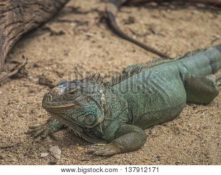 iguana on the sand floor in the wild