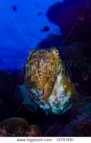 Cuttlefish Floating Above A Coral Reef