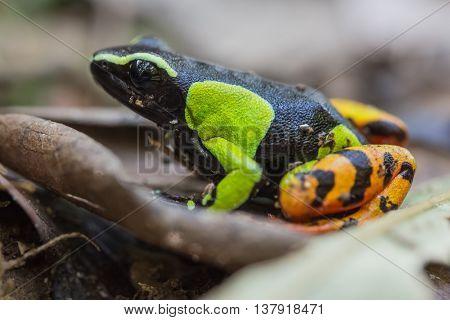 Beautiful Mantella (Mantella pulchra) endemic species of frog. Madagascar