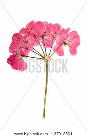 Pressed and dried bush with delicate pink flowers geranium (pelargonium). Isolated on white background. For use in scrapbooking floristry (oshibana) or herbarium.