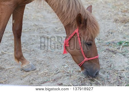 brown horse. horse in the paddock and bent over eating dry grass