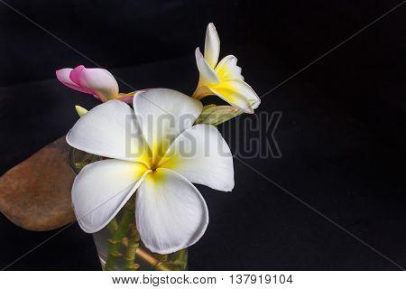 Frangipani Or Plumeria Fragrant Flowers On Black Background