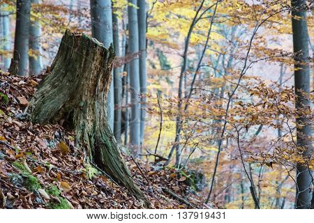 Tree stump in the autumn deciduous forest. Colorful seasonal natural scenery.