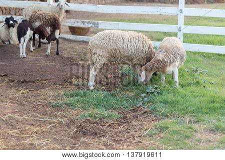 Sheep. Sheep in the cage. Sheep in the farm. Sheep farming outdoor.