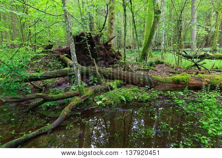 Moss Wrapped Trees Lying Over Water