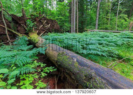 Wind Broken Old Norwegian Spruce Tree Lying
