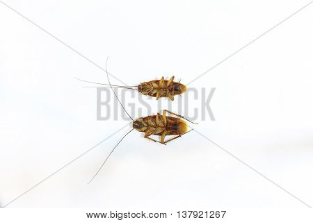 cockroach on the white background, insect .