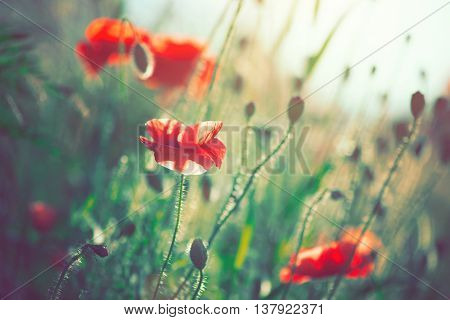 Beautiful Poppy flowers blooming on the field. Beauty background of summer wildflowers, nature scene, rural landscape. Vintage colors graded