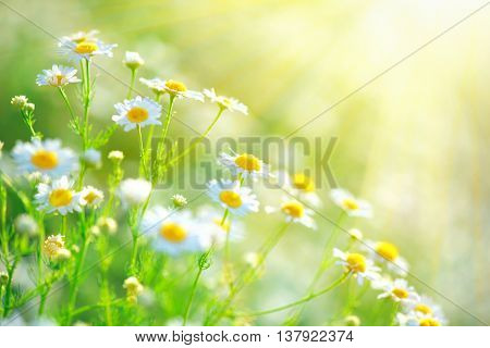 Chamomile field flowers border. Beautiful nature scene with blooming medical chamomilles in sun flare. Alternative medicine Spring Daisy. Summer flowers. Beautiful meadow. Summer background