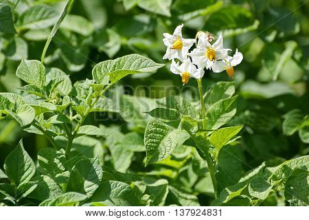 Image field with blooming potatoes. White flower closeup dedicated.