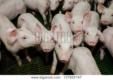 Pig farm. Little piglets. modern cattle farm