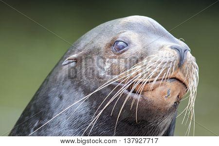 Close-up Of A California Sea Lion