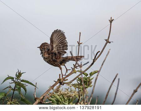 Dunnock taking to flight on a windy day (Prunella modularis)