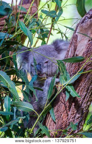 Koala Eating Leafs On The Tree