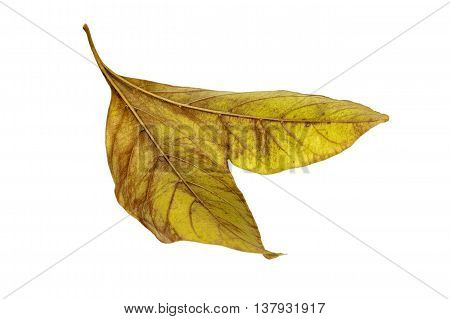 Two Conjoined  Autumn Colored Ieaves Isolated On White 3