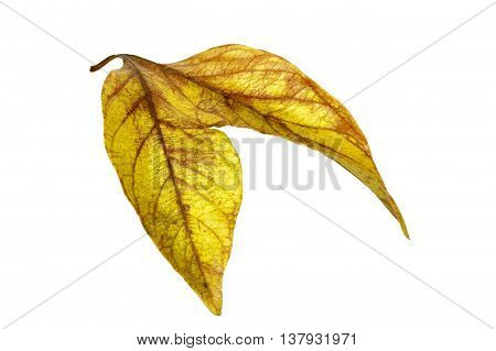 Two Conjoined  Autumn Colored Ieaves Isolated On White 2