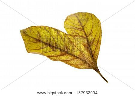 Two Conjoined  Autumn Colored Ieaves Isolated On White 1