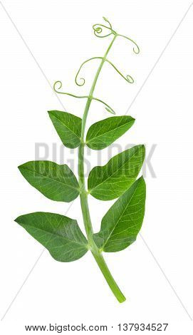pea leaf with tendril isolated on white background. Sprig of pea leaves. Young green sprout of peas isolated on white background
