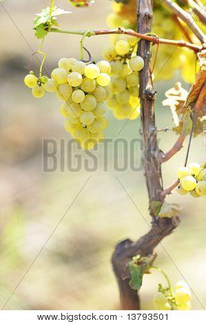 Gelbe Trauben im Weinberg