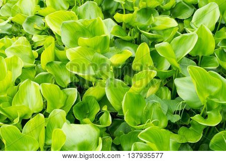 Aquatic plant hyacinth green leaves, Green background.