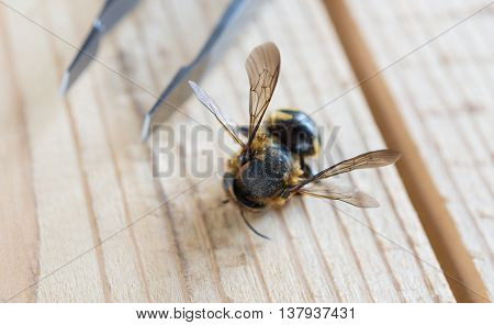 small wasp on wooden background and tweezers