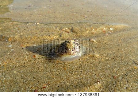 A close-up of a small sea snail on a sandy beach