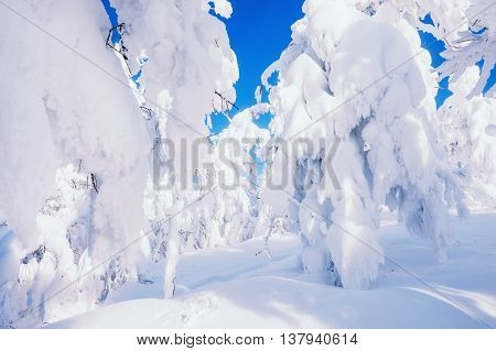 Snow-covered Trees In A Forest After Snowfall.