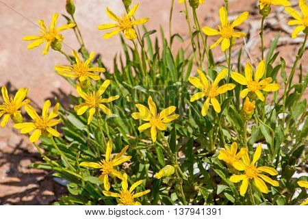 Yellow Desert Wildflowers in Arches National Park in Utah