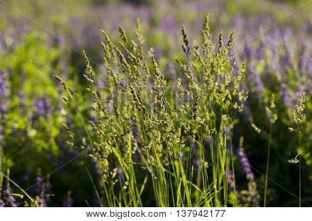 Field Grass Sweet Grass (hierochloe Odorata)