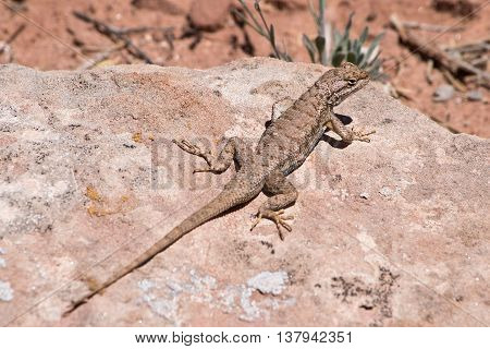 Brown Fence Lizard in Arches National Park in Utah