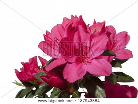 Pink azalea in bright bloom with a white background