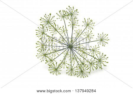 Dill sprig with seeds on a white background