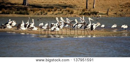 Pelicans resting by the lake together during the day in Queensland.
