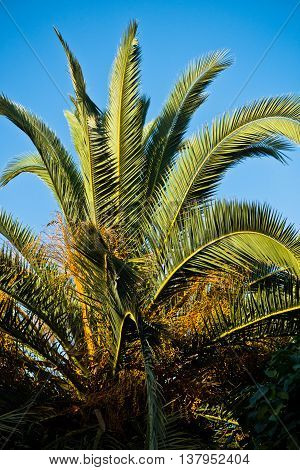 Palm tree at golden hour in Sithonia, Greece