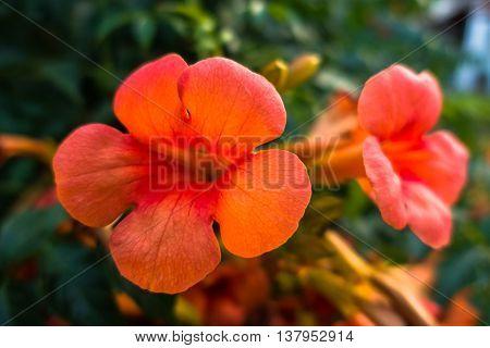 Beautiful orange mediterranean flowers at morning, Sithonia, Greece