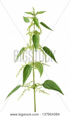 Nettle Plant With Flowers