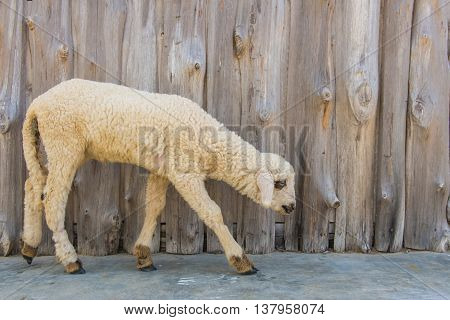long wool sheep in farm with wooden background.